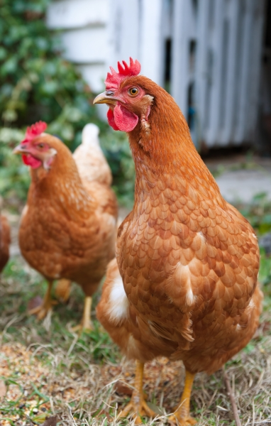 1164032-isobrown-chickens-in-yard