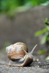 1171020-grapewine-snail-on-pavement